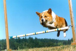 Causes of Corgi dog training